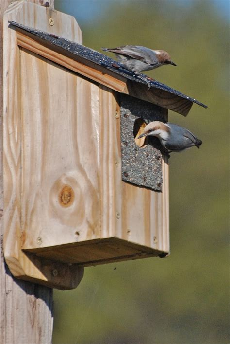 brown headed nuthatch nest box jpg audubon north carolina