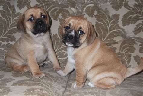 puggle puppies for adoption adoreable puggle puppies par cornwall pets4homes
