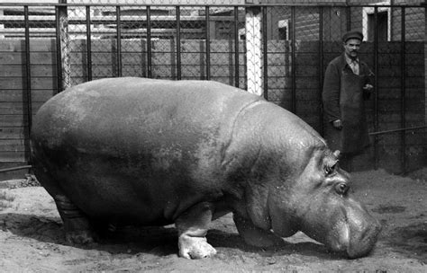 the hippo during the siege of leningrad 1943 1 024
