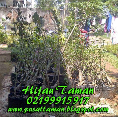 kamboja jepang bonsai adenium jual tanaman hias