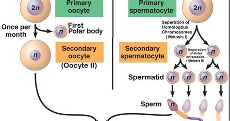 How Does It Take To Typically Finish An Mba by Difference Between Spermatogenesis And Oogenesis Major
