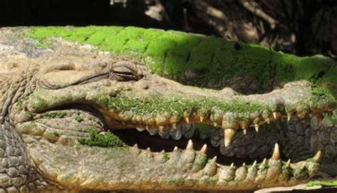 monster crocodile attacks fishing boat massive crocodile shot in zimbabwe picture bulawayo24 news