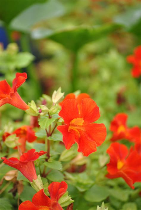 Roter Fächerahorn Kaufen by Gauklerblume Rot Mimulus Cupreus Quot Roter Kaiser Quot