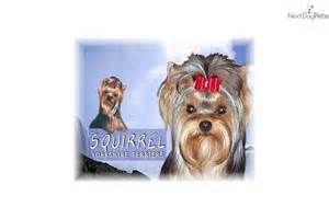 squirrel puppies for sale puppies for sale from squirrel terriers nextdaypets