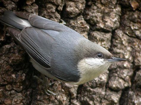 pygmy nuthatch wikipedia