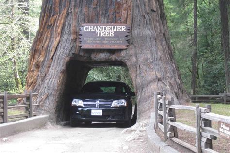 Chandelier Tree In The Drive Thru Tree Park Dyerville Giant Etb Travel Photography