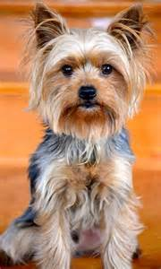 best 25 silky terrier ideas on