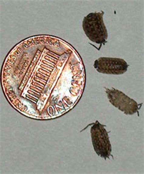 small black bugs in basement sow bugs what s that bug