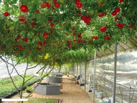 tomato tree giant tomato tree must see how to