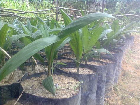 Bibit Kelapa Sawit gambar bibit kelapa sawit rudika sirait 501