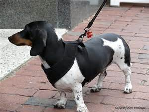 tri color dachshund this is the only tri color dachshund i seen