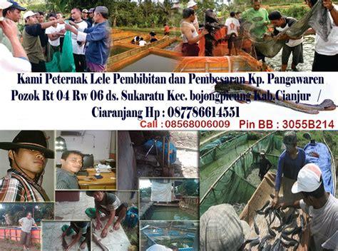 Bibit Lele Sangkuriang Cianjur lele cianjur selayang pandang ternak lele