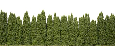grow tree privacy trees these 4 grow the fastest fast growing