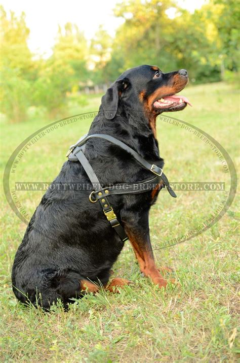 what to look for when buying a rottweiler puppy tracking leather rottweiler harness horizontal padded chest