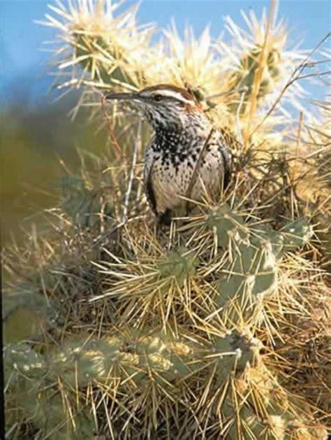 cactus wren cylorhynchus brunneicapillus wildlife