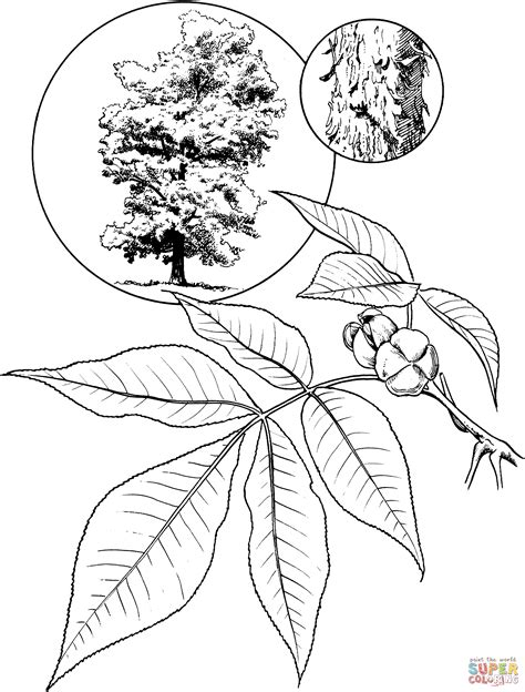 Hickory Tree Coloring Page | shagbark hickory tree coloring page free printable