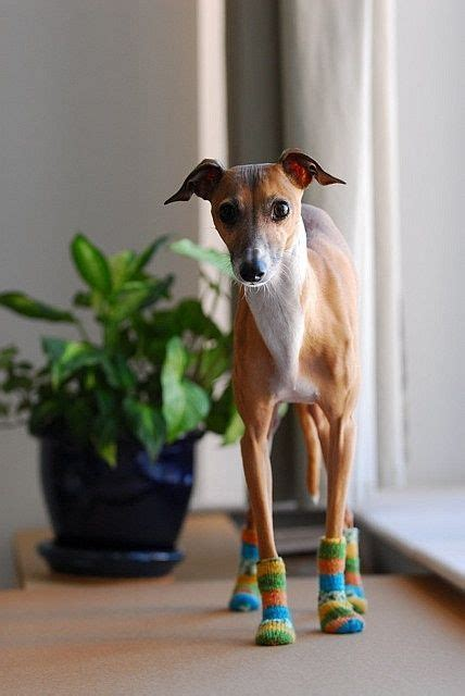 Ridiculously Cool Website Whippet Grey by 17 Best Ideas About Italian Greyhound Clothes On