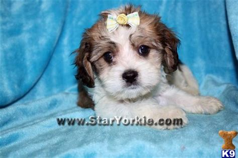 teacup havanese price havanese puppy for sale teacup havanese puppies available in los angeles 6 years