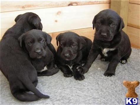 lab pointer mix puppies for sale puppies for sale in uk pointer breeders links in the uk breeds picture