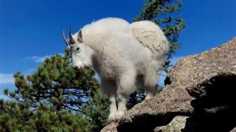 the backyard goat mountain goat in backyard
