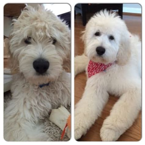 goldendoodle puppy cut lovely pet salon 19 photos 30 reviews pet groomers 24650 southpoint dr