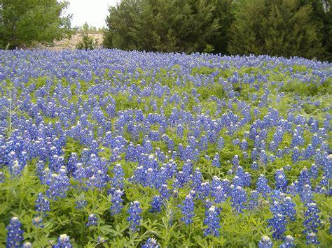 file bluebonnets en texas 2 jpg
