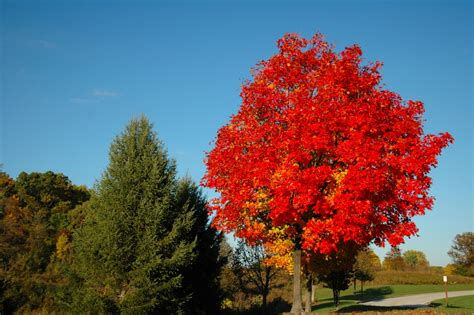 image red maple tree download