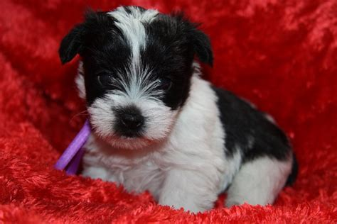 puppies for sale in oklahoma teacup and miniture schnauzers chandler oklahoma breeds picture