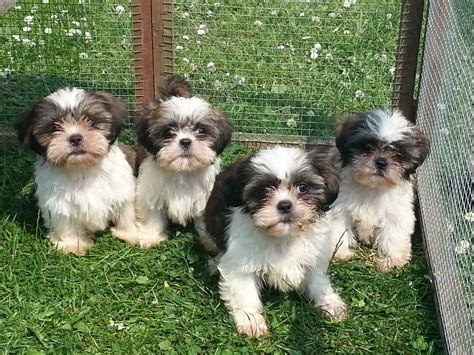 shih tzu puppies for sale in county durham shih tzu puppies for sale ready now durham county durham pets4homes