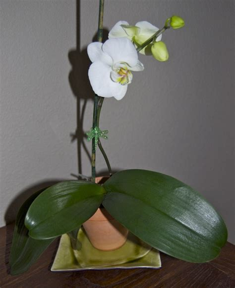 orchid care pruning orchids pinterest