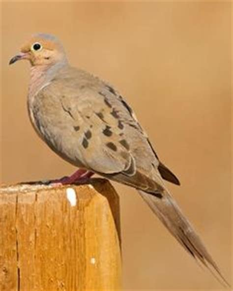 1000 images about beautiful mourning dove photography on