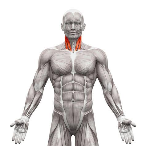 muscoli testa muscoli collo testa sternale e muscolo capo