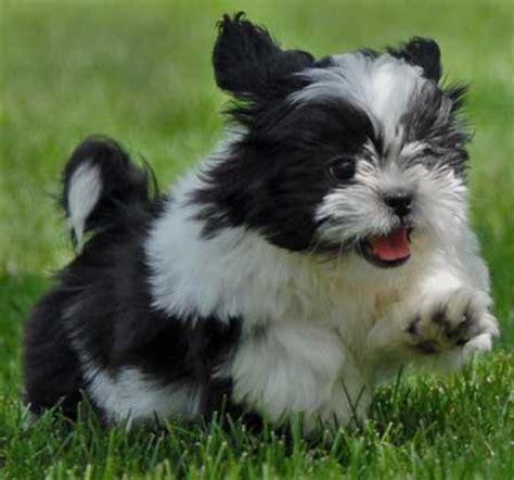cocker shih tzu puppies no spam no virus no kiddin must dogs