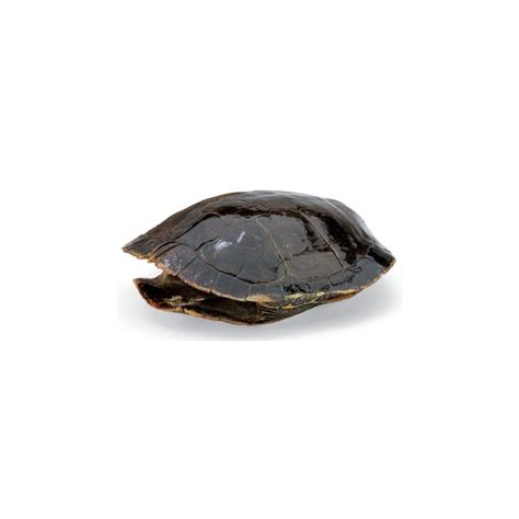 western turtle shell real turtle shell