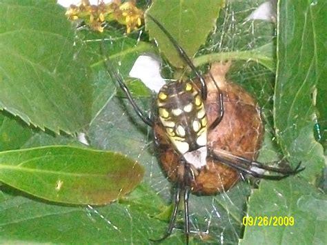 kingsnake photo gallery gt spiders gt yellow garden