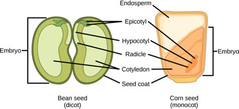 diagram of monocot seed pollination and fertilization boundless biology