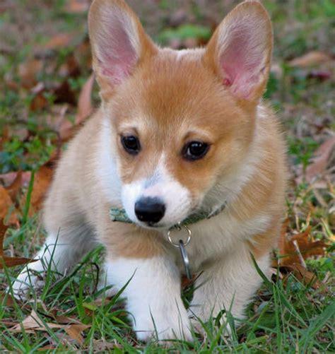 teacup corgi puppies for sale healthy pembroke corgi puppies out for sale dogs
