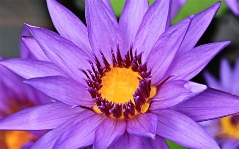 water lilies purple petal bloom summer pond blue yellow