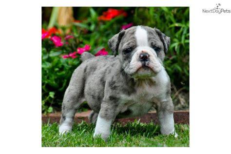 blue merle bulldog puppy bulldog puppy for sale near birmingham alabama bf1ccfe3 db51