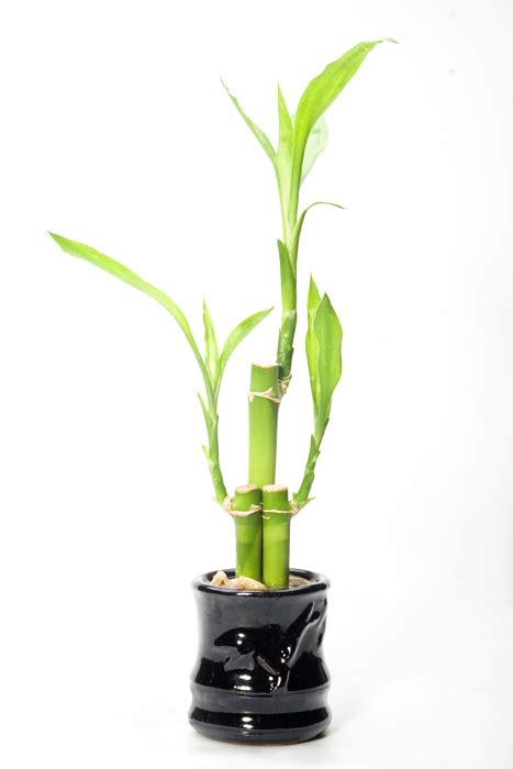 feng shui lucky bamboo plant 8 do s 4 don ts