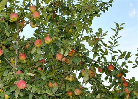 how for an apple tree to produce fruit estimated yield for fruit trees stark bro s