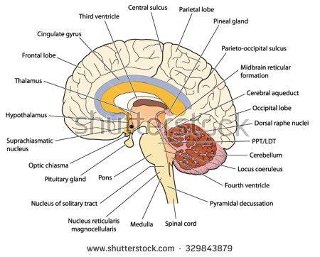 the solar plexus or abdominal brain classic reprint books nuclei stock images royalty free images vectors