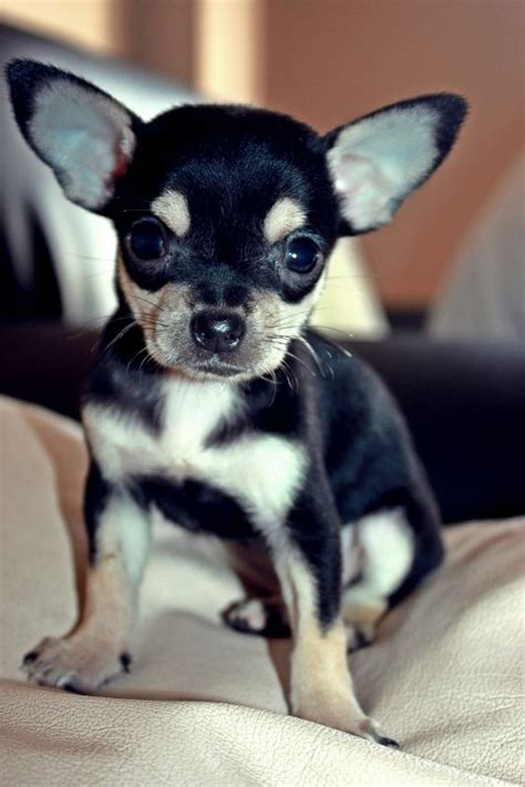 black chihuahua puppies black and chihuahua puppies ilford essex pets4homes