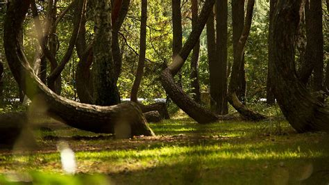the crooked forest of gryfino poland the crooked forest of gryfino poland