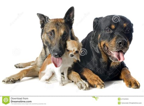chihuahua and rottweiler malinois chihuahua and rottweiler royalty free stock images image 27157819