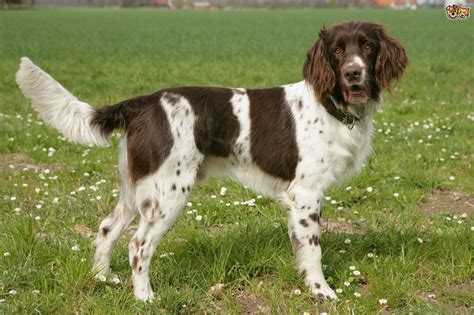 pointer breeds german longhaired pointer breed information facts photos care pets4homes