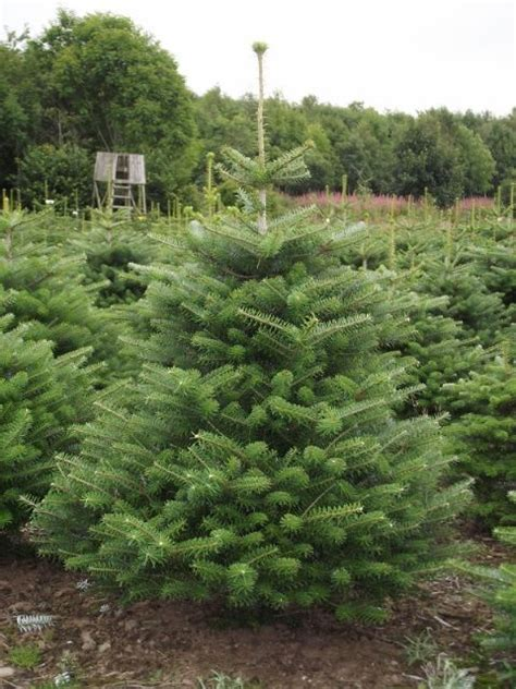 korean fir christmas trees are now available from the