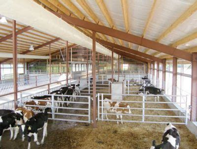 dairy calves   ease cattle supply challenge rmac