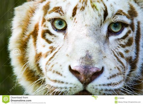 imagenes de tigres verdes olhos do tigre do albino foto de stock royalty free
