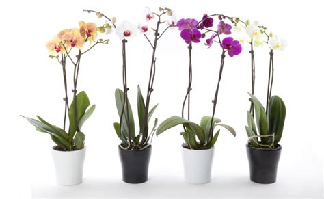 Pot Tray Anggrek oderings gardening guide caring for your phalaenopsis
